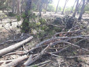 هذه حقيقة اقتلاع أشجار بغابة بوسكورة تحت غطاء كوفيد-19